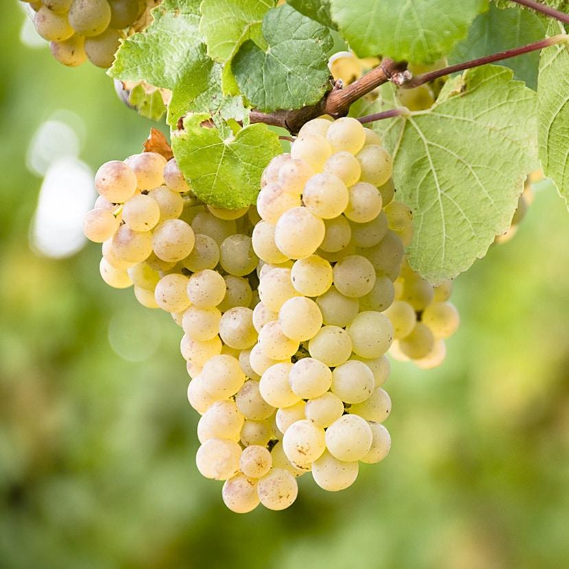 Vinification vignobles cognac Frapin